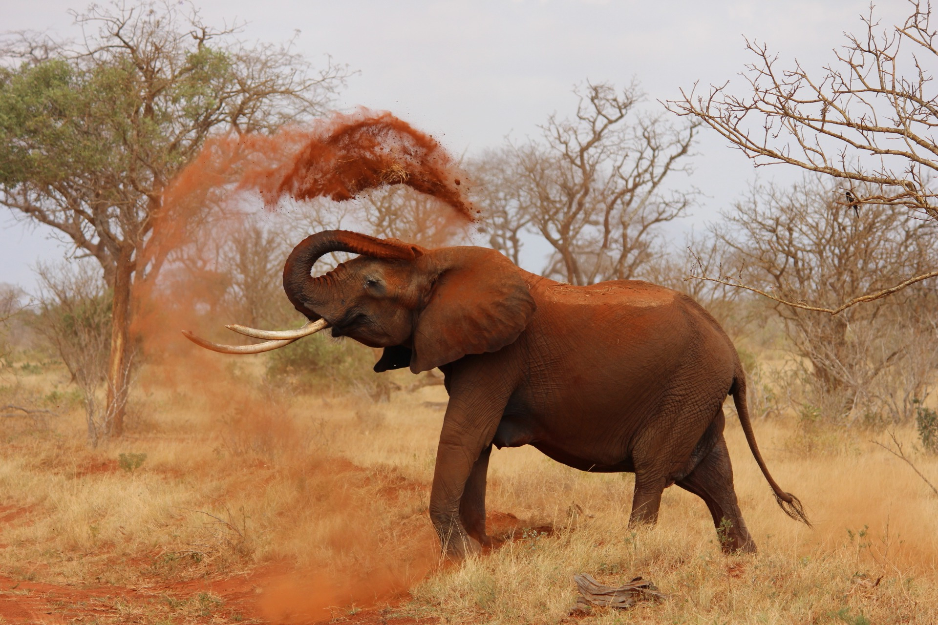 elephant-dusting-helps-rid-off-pest