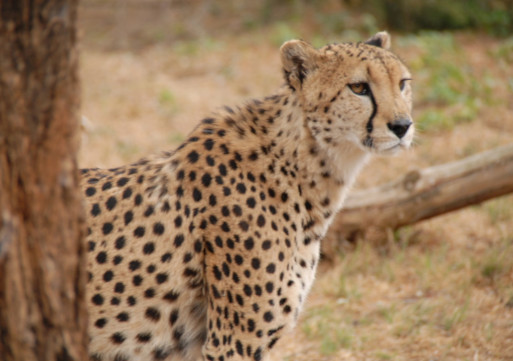 fastest-cat-cheetah